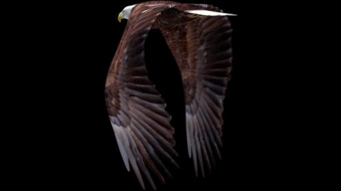 Bald Eagle Flying Loop Quarter View 1 Effect