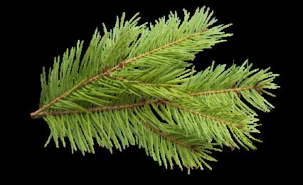 Plant Pine Texture HD 8K